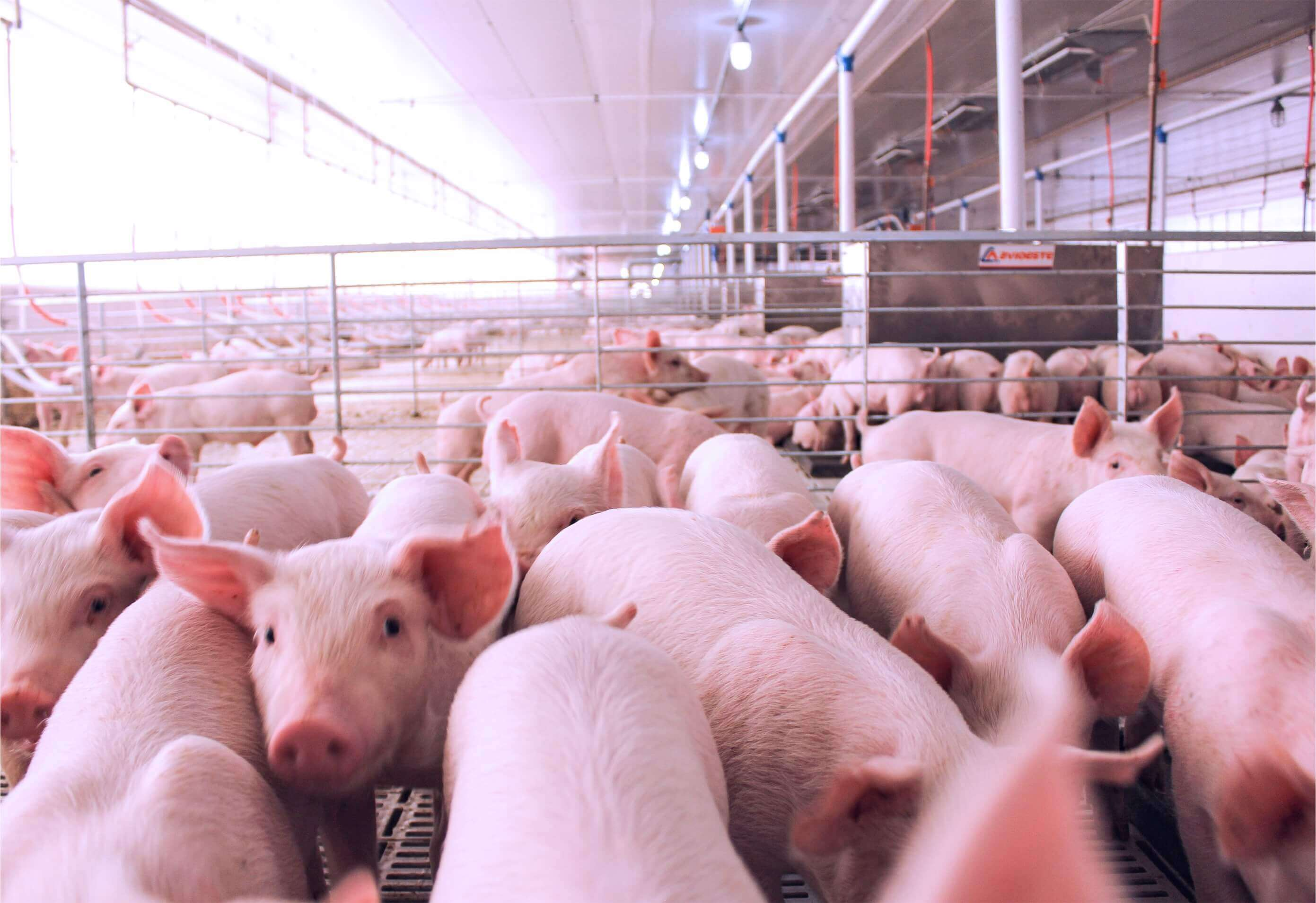 Capa Santa Catarina expands by 35% pork exports in 2020